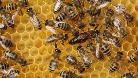 Queen bee is always surrounded by the workers bees - their servant. stock video footage