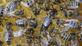 Queen bee is always surrounded by the workers bees - their servant. stock footage