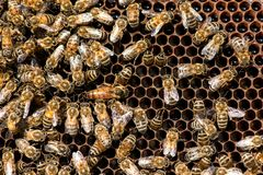 The queen bee swarm. Close-up of a queen bee. Selective focus stock image