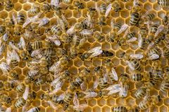 The queen bee swarm. Selective focus royalty free stock photography