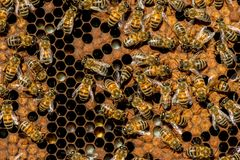 The queen bee swarm. Selective focus stock image