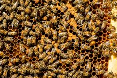 The queen bee swarm. Selective focus stock images