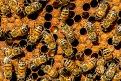 The queen bee swarm. Selective focus stock photography