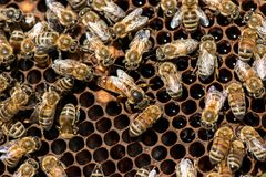The queen bee swarm - selective focus. The queen bee swarm - close up, selective focus stock photography