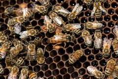 The queen bee swarm - selective focus. The queen bee swarm - close up, selective focus stock image