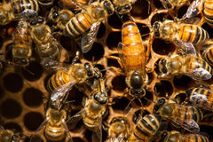 The queen bee swarm. Selective focus Royalty Free Stock Images