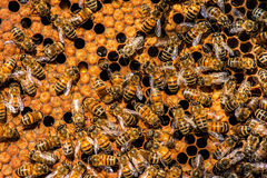 The queen bee swarm. Selective focus royalty free stock photos