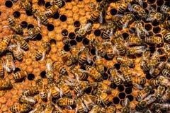 The queen bee swarm. Selective focus Royalty Free Stock Photos