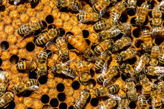 The queen bee swarm. Selective focus stock photos