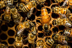 The queen bee swarm. Selective focus royalty free stock photo