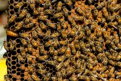 The queen bee swarm - selective focus. Close up of queen bee swarm - selective focus royalty free stock photo