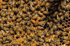 The queen bee swarm - selective focus. Close up of queen bee swarm - selective focus stock images