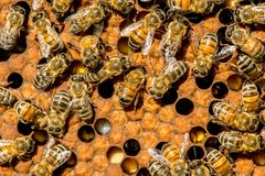 The queen bee swarm - selective focus. Copy spacen stock images