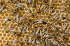 The queen bee swarm. Selective focus royalty free stock image