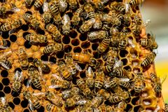 The queen bee swarm - selective focus. Copy space royalty free stock photo