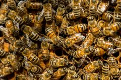 The queen bee swarm - selective focus. Copy space stock image
