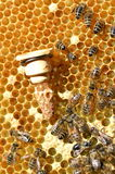 Queen bees cell and bees on honeycomb Stock Photo