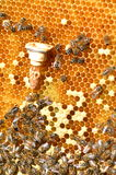 Queen bees cell and bees on honeycomb Royalty Free Stock Images