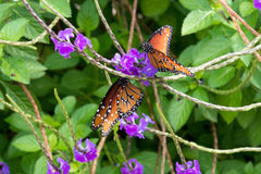 Queen butterflies Royalty Free Stock Photography