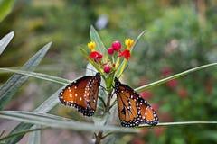 Queen butterflies. (Danaus gilippus) at San Antonio Botanical Garden Stock Photography