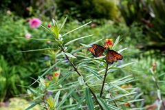 Queen butterflies Royalty Free Stock Image