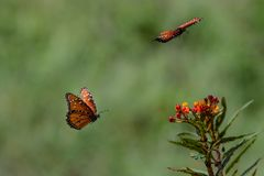 Queen Butterflies Near an Orange Flower in Flight royalty free stock photography