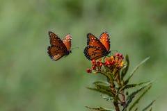 Queen Butterflies on an Orange Flower stock photography