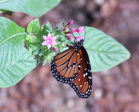Queen Butterfly. A Queen butterfly with it's proboscis buried in a flower Stock Image