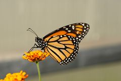 Queen butterfly. On yellow flower Stock Photography
