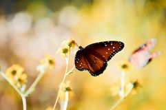 Free Queen Butterfly Royalty Free Stock Image - 79891886