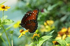 Queen butterfly. Aka Danaus gilippus nectaring a yellow flower Royalty Free Stock Images