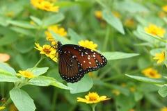 Queen butterfly. Aka Danaus gilippus nectars on a yellow flower Royalty Free Stock Photo