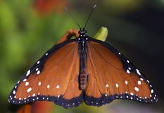Queen Butterfly (Danaus gilippus). With wings outstretched - captive insect stock photo
