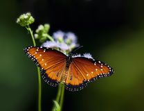 Queen butterfly, Danaus gilippus. Resting on flowers stock photography