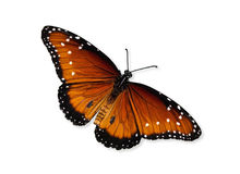 Queen butterfly (Danaus gilippus). Isolated over white with clipping path stock photography