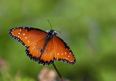 Queen butterfly (danaus gilippus) Stock Images