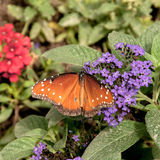 Queen butterfly Royalty Free Stock Images