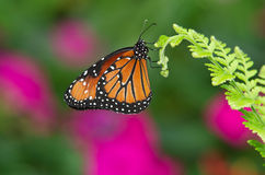 Queen butterfly (danaus gilippus). Hanging on leaf against green and purple background royalty free stock images