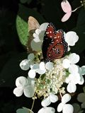 Queen Butterfly feeding on a white flower Stock Images