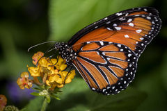 Queen Butterfly on Flower. Close up of a Queen Butterfly on an orange blossom Royalty Free Stock Photography