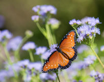 Queen butterfly on Greggs Mistflowers Royalty Free Stock Photos