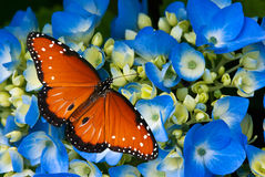 Queen butterfly on hydrangea flowers Royalty Free Stock Photography