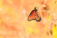Queen Butterfly. This image of a Queen butterfly was captured near Sedona, Arizona.  After tracking him for about thirty minutes he finally landed on a good spot Stock Photos