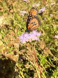Queen Butterfly. Monarch look-alike, Danaus gilippus royalty free stock image