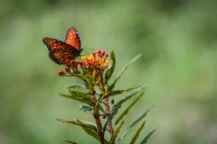 Queen Butterfly on an Orange Flower royalty free stock images