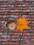 Queen Butterfly on Orange Petaled Flowers Royalty Free Stock Photos