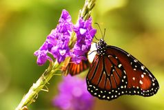 Queen Butterfly sipping nectar Royalty Free Stock Photo