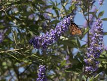 Queen Butterfly visits Purple Sage Flowers. A Queen butterfly Danaus gilipus visits purple sage flowers. This plant is also known as Texas Ranger plant stock photos