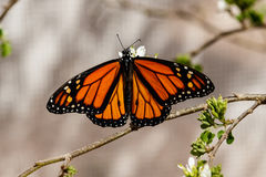 Queen butterfly, wings spread, feeding on flower. Queen butterfly with wings spread, feeding on the blossom of a desert plant in Phoenix, Arizona Stock Photo