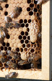 Queen cell on brood frame Stock Image